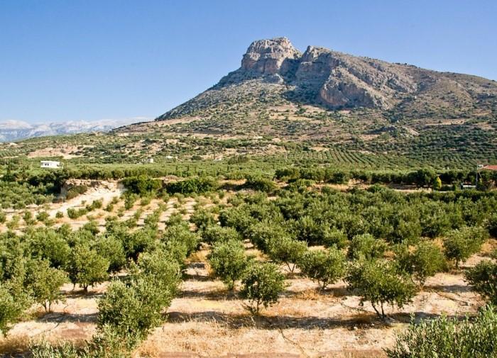 Как растут оливковые деревья в Греции