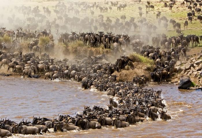 Кения великая миграция животных