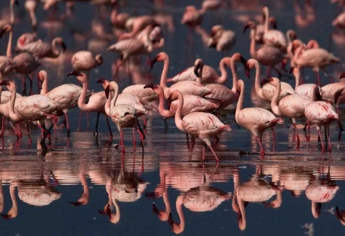 Розовые фламинго на озере Накуру