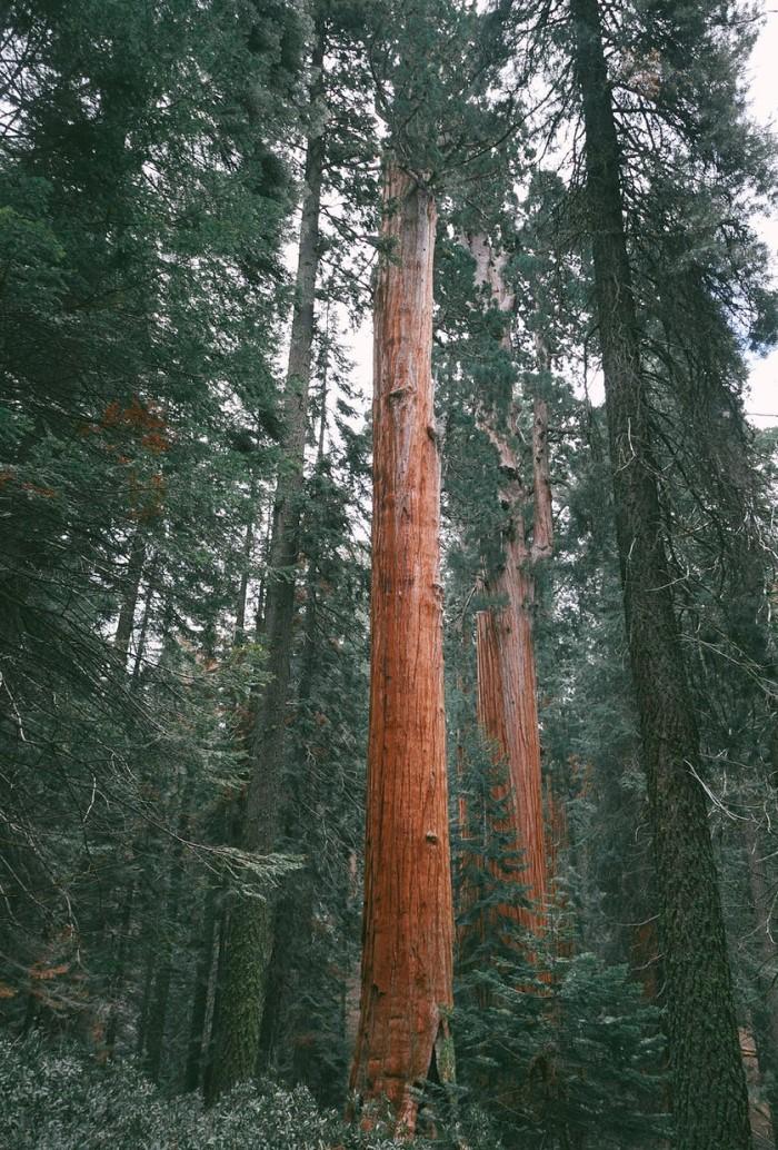 Секвойя - символ штата Калифорния